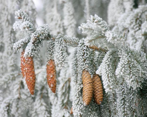Jakie rośliny iglaste są odporne na mróz