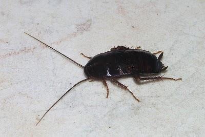 Jak pozbyć się karaluchów w mieszkaniu