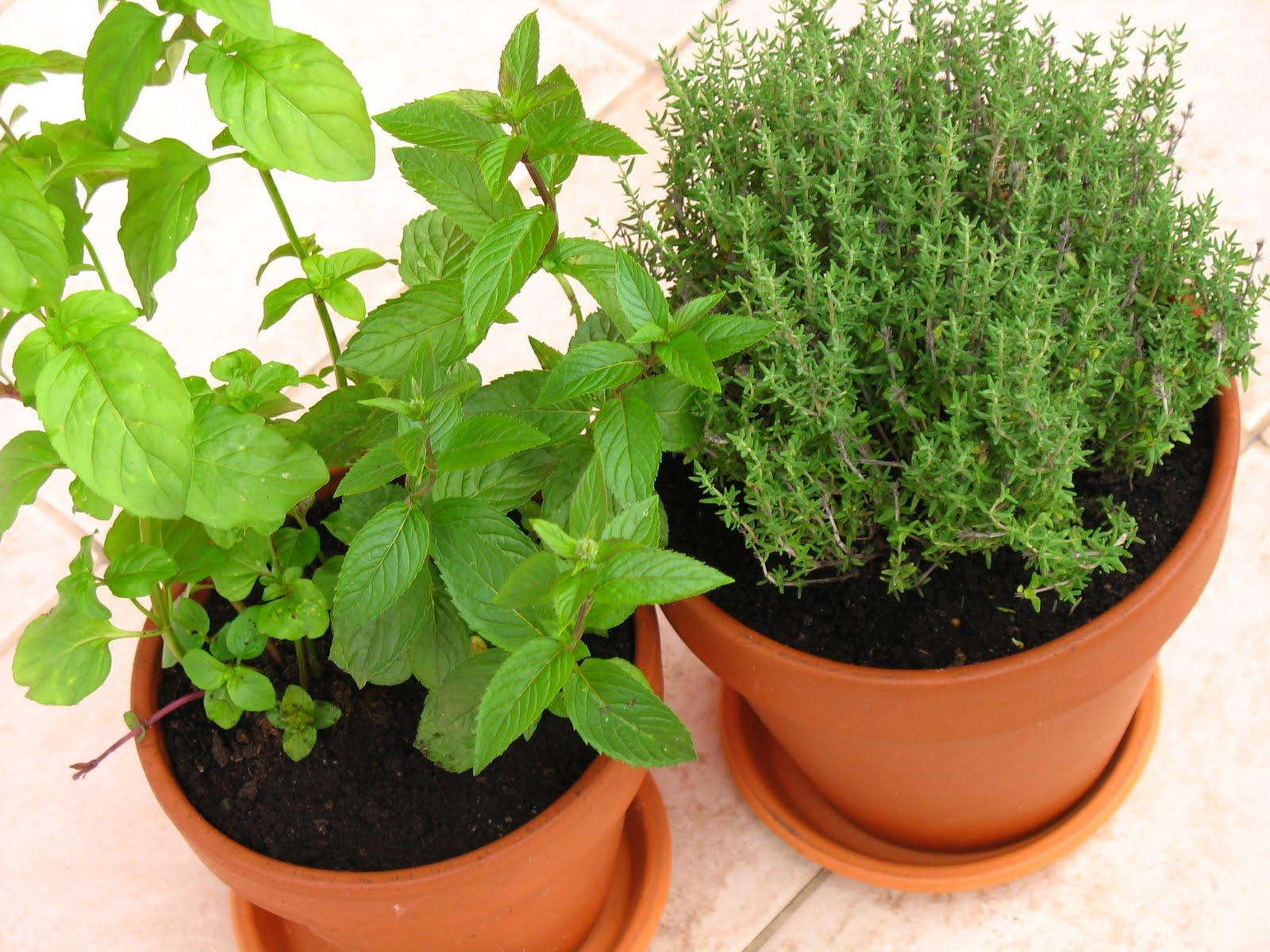 Jak pielęgnować świeże zioła