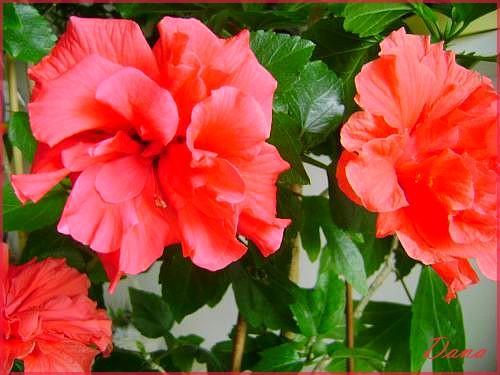 Jak hodować hibiskusa