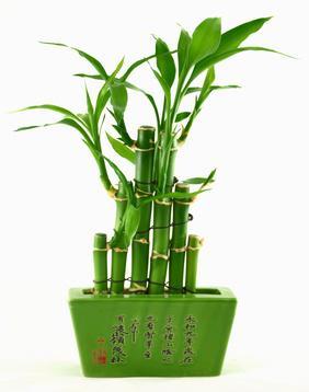 Jak hodować bambusa