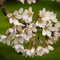 Jak zrobić kwiat wiśni z bibuły