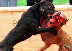 Jak rozdzielić walczące psy