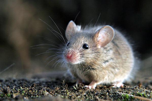 Jak pozbyć się z domu myszy