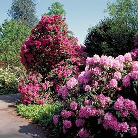 Jak pielęgnować rhododendron