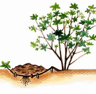 Jak rozmnażać rośliny przez odkłady