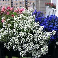 Jak pielęgnować kwiaty balkonowe