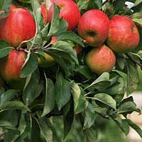 Jak posadzić drzewko owocowe