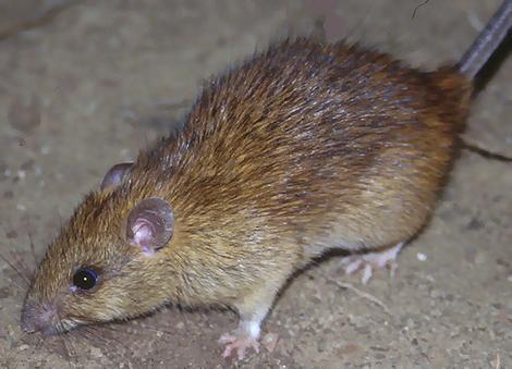 Jak przygotować pułapkę na szczury