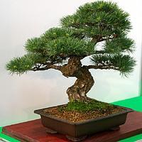 Ja pielęgnować drzewko bonsai