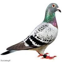 Jak usunąć gołębie odchody z balkonu