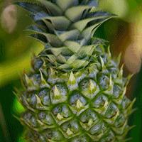 Jak wyhodować ananasa