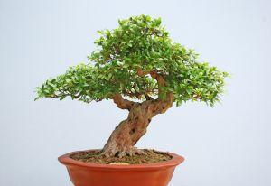 Jaką doniczkę wybrać do bonsai