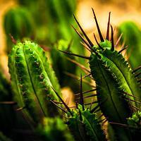 Jak pielęgnować kaktusy