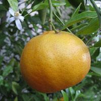Jak pielęgnować drzewko mandarynkowe w domu