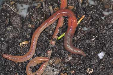 Jak dżdżownice wpływają na rozwój gleby
